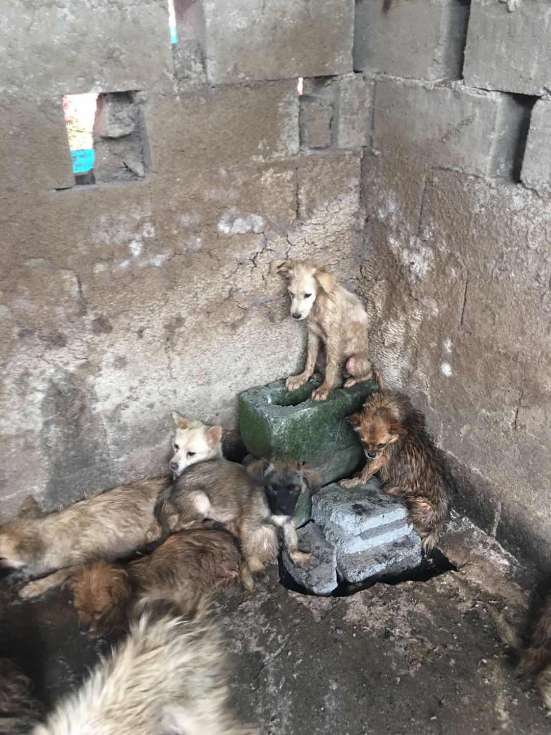 62 dogs rescued from Yulin slaughterhouse June 2019