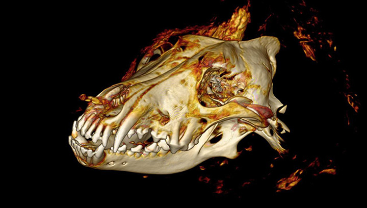 CT scan of wolf head
