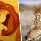 Lion Cub Gives Father A Hug Just Like In The Lion King
