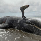 So Many Whales Are Washing Up Dead In America They're Running Out Of Space To Bury Them