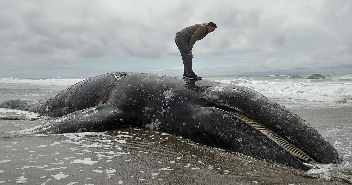 Grey whale dead washed up san francisco california US west coast