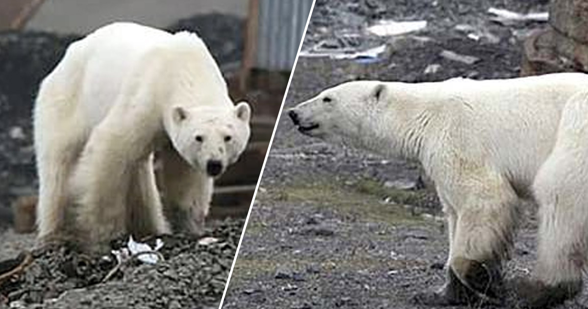 Polar Bear Lost In Siberia Taken To Zoo For Treatment