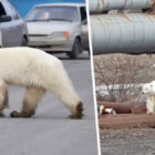 Desperate Polar Bear Turns Up In Siberian City, Hundreds Of Miles From Home