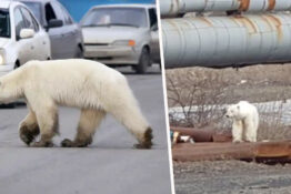 Polar bear wandered into Siberian city