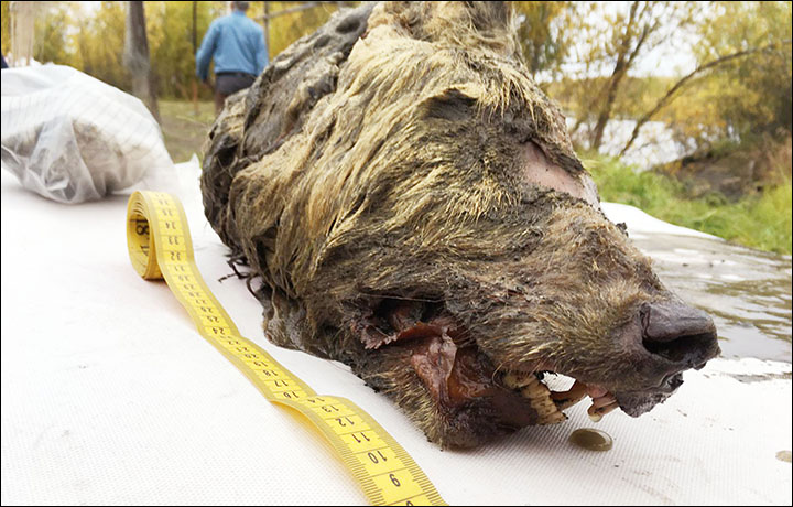 preserved wolf head