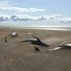 Dozens Of Dead Whales Discovered On Beach In Iceland