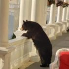 Black Bear Lounging On Luxury Resort Balcony Enjoys Bear Necessities