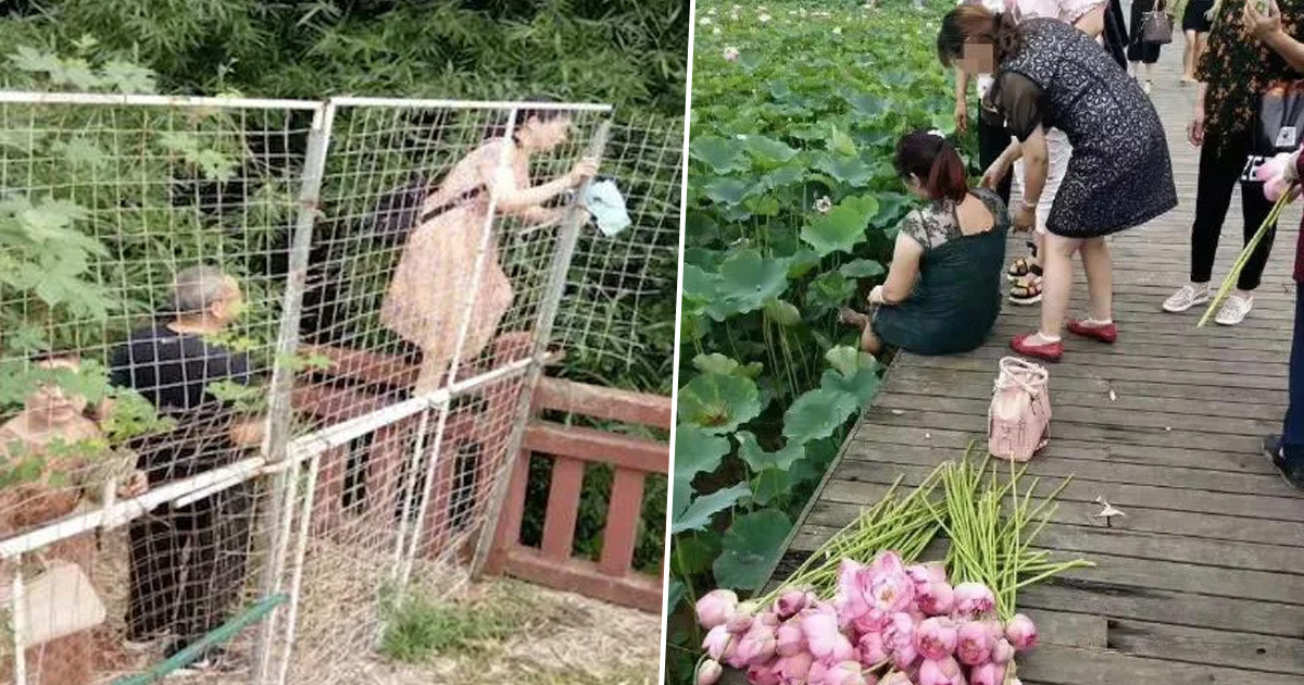 Tourists Break Into Eco Park And Strip Away All Its Lotus Flowers
