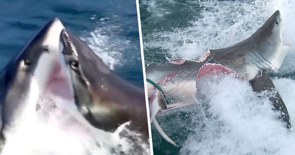 Cannibal Great White Sharks Rip Each Other Apart In Brutal Attack