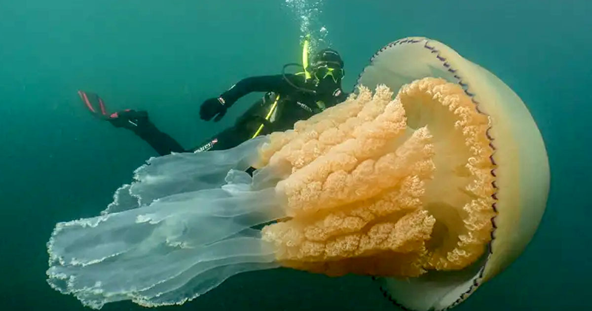 Giant Jellyfish As Big As Diver Appears Off Cornish Coast