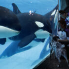 Ex-SeaWorld Trainer Claims Killer Whales Were Drugged And Deprived Of Food To Make Them Perform