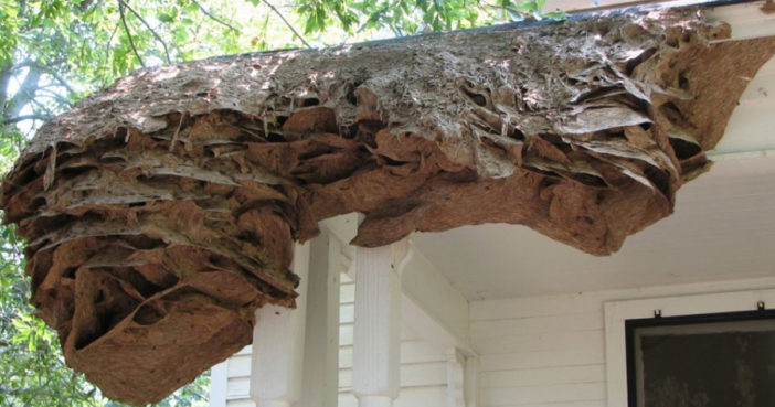Wasp Nests The Size Of Cars Are Appearing In Alabama Because Of Climate Change