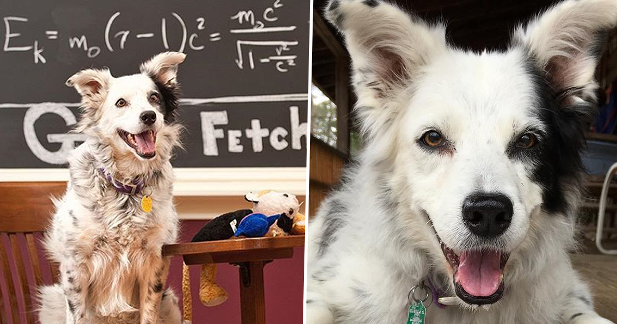 World's Smartest Dog Trained To Recognize 1022 Nouns Dies Aged 15