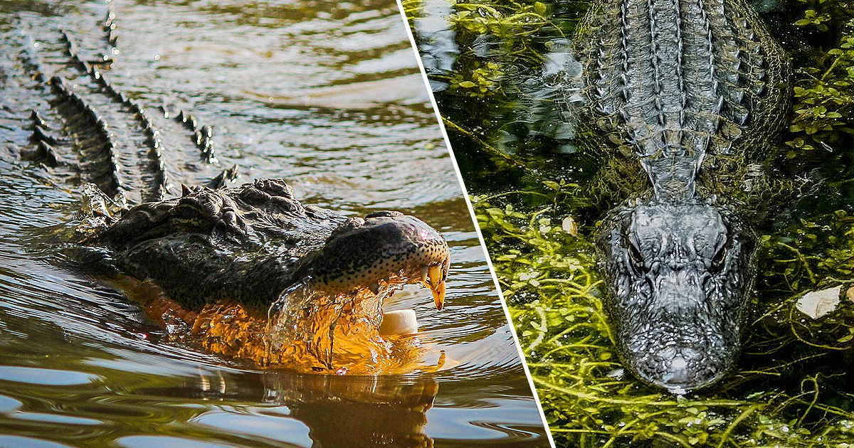 Florida Alligators Caught Eating Second Corpse In One Week