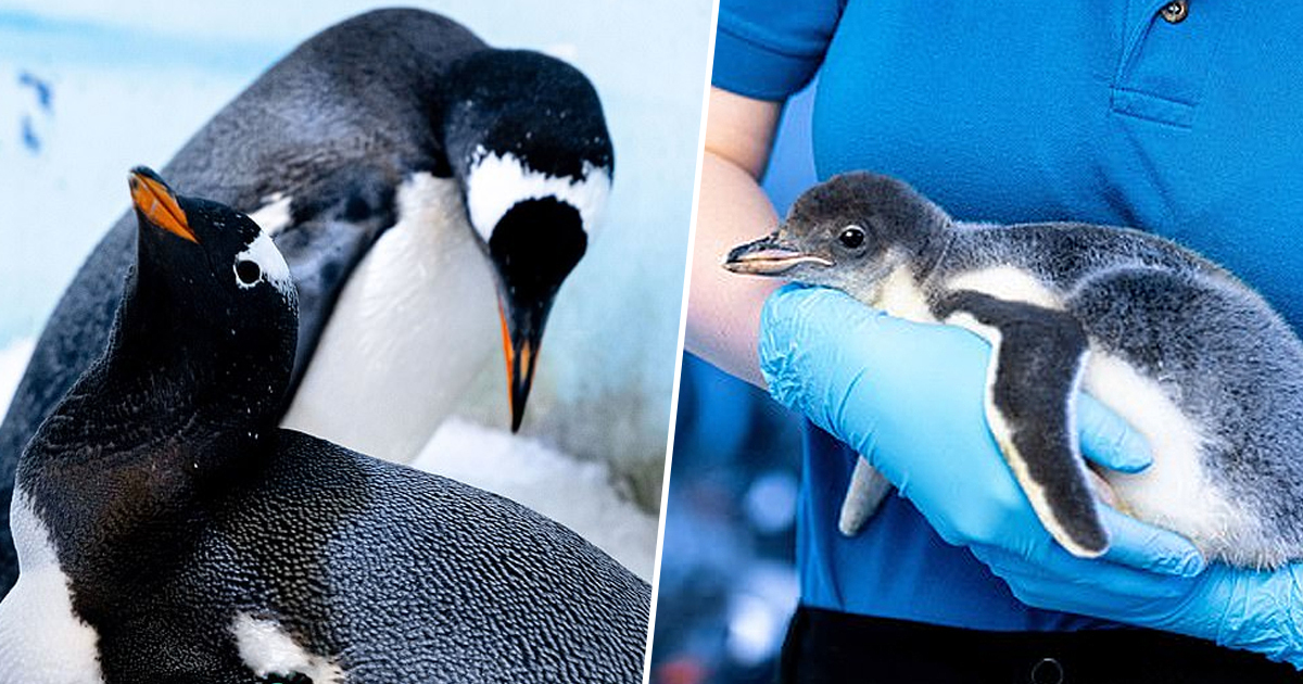 Lesbian Penguins Adopt First Chick After Proving They're Good Parents