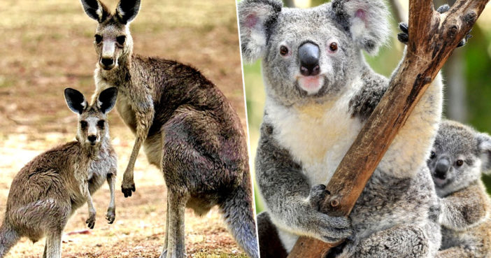 Australia Considering Killing Off Koalas And Kangaroos As Population Grows Too High