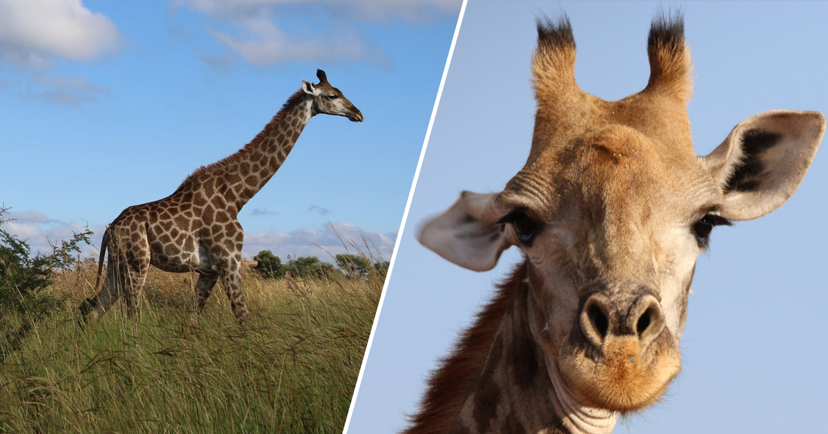 Masai Giraffes Declared Endangered After Poaching Halves Population