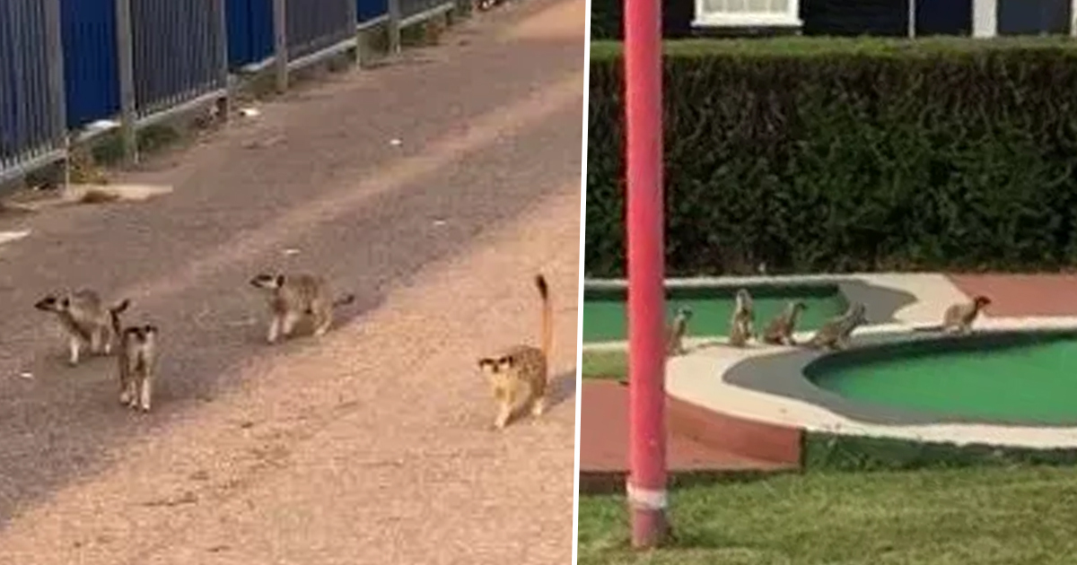 Mob Of Meerkats Escape From Zoo To Play Miniature Golf On Seafront