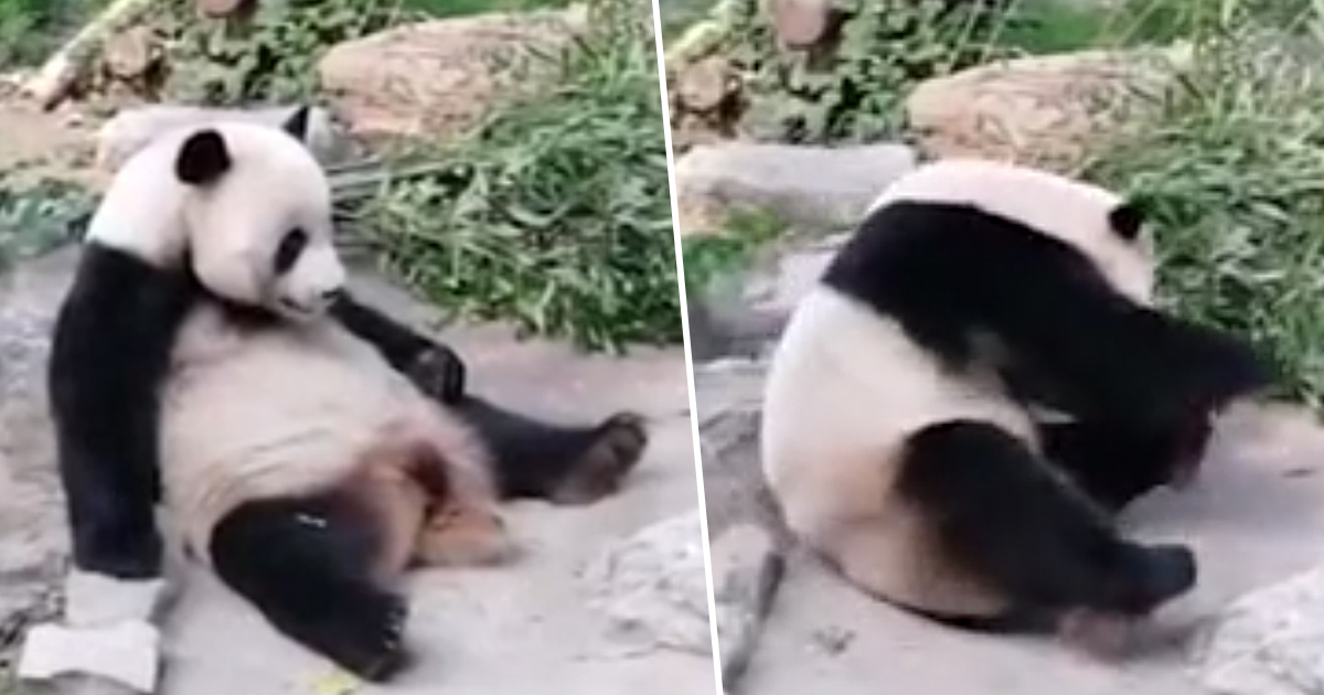 Tourists Caught Throwing Rocks At Giant Panda 'To Wake It Up' In Zoo