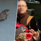 Hungry Penguins Forcibly Removed From Sushi Bar By Police Return For Seconds