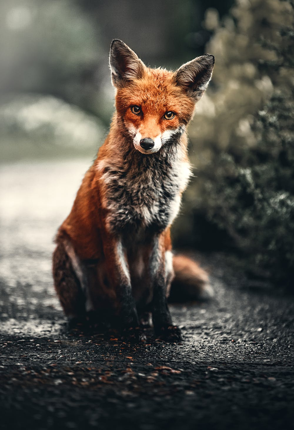 a fox sitting in the road