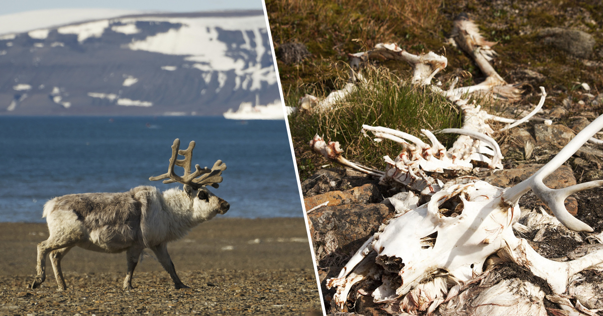 dead reindeer starving climate change