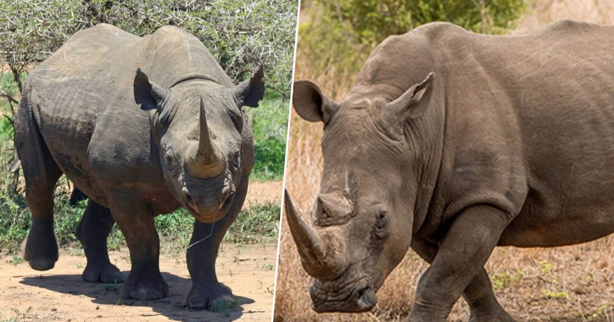 Rhino population increase in Tanzania