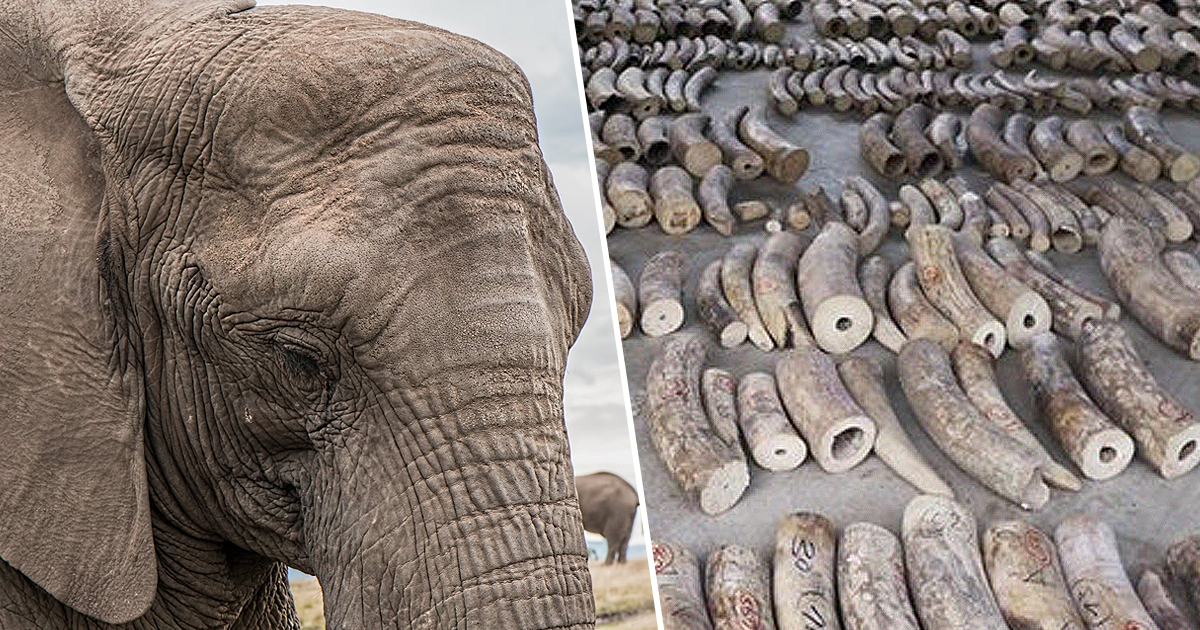 Ivory From 300 Elephants Seized In Record Haul Worth $48m