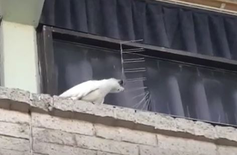 Cockatoo removes anti bird spikes