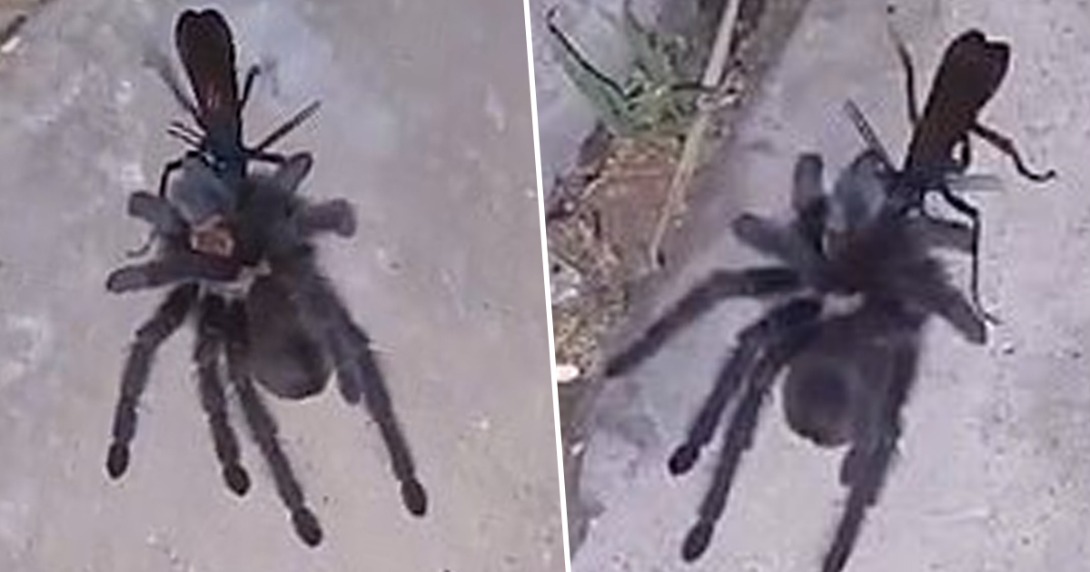 Woman Finds Wasp Dragging Tarantula Back To Nest To Lay Eggs Inside It