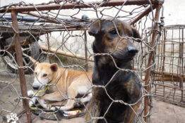 Dogs waiting for slaughter at Langowan market