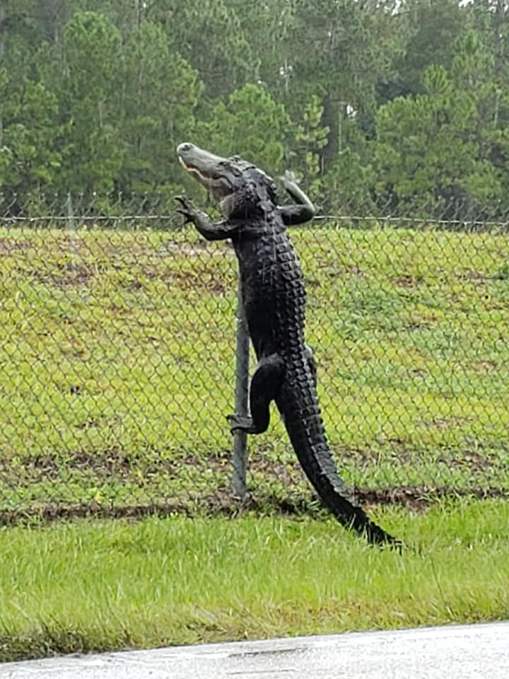 Alligator florida fence
