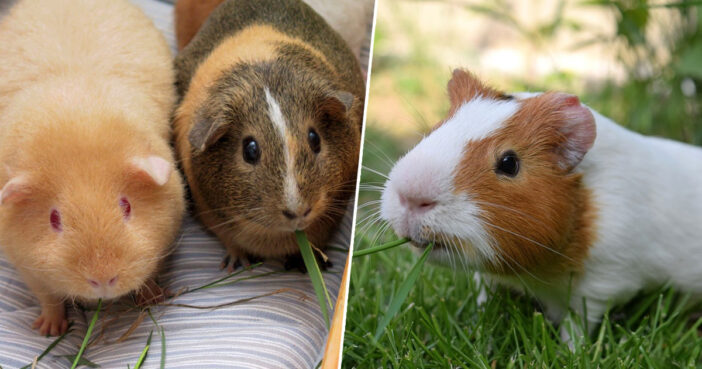 Guinea Pigs Switzerland Lonely Pets