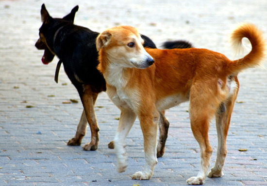 Stray dogs on streets
