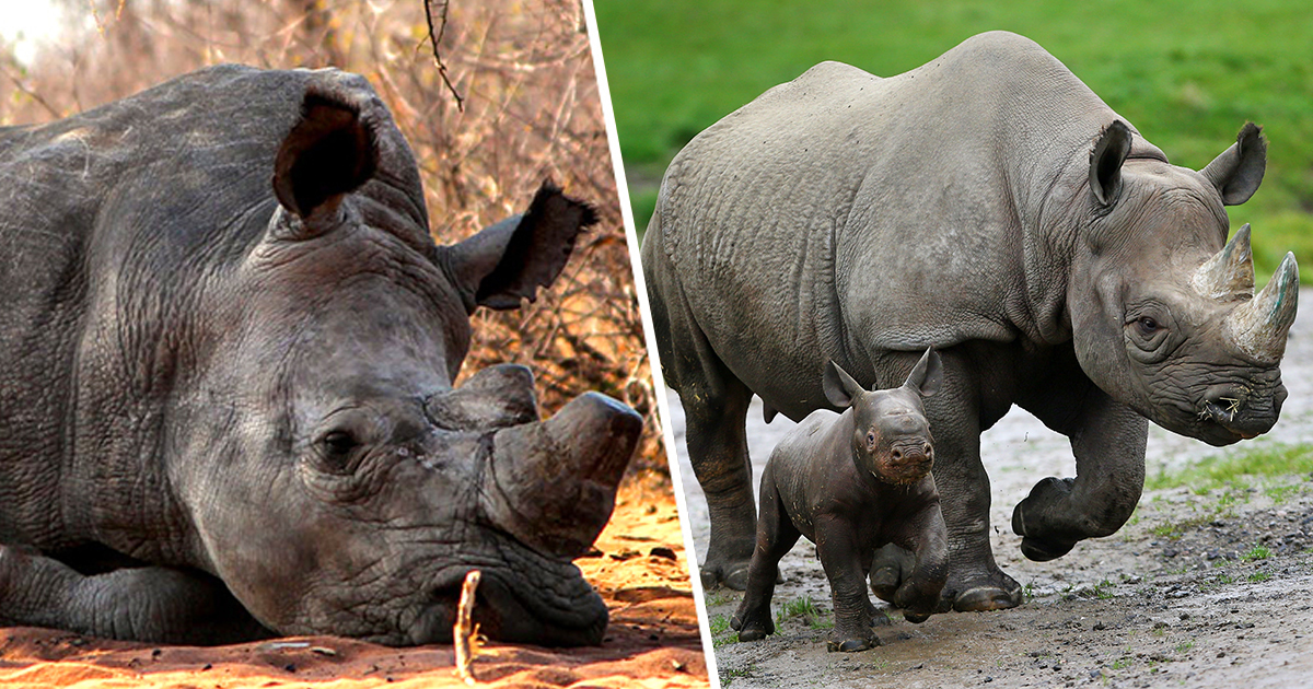 Trophy Hunters Win Fight To Increase Number Of Black Rhinos They Can Kill
