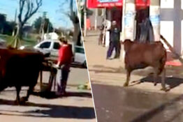 bull escapes slaughterhouse goes on rampage