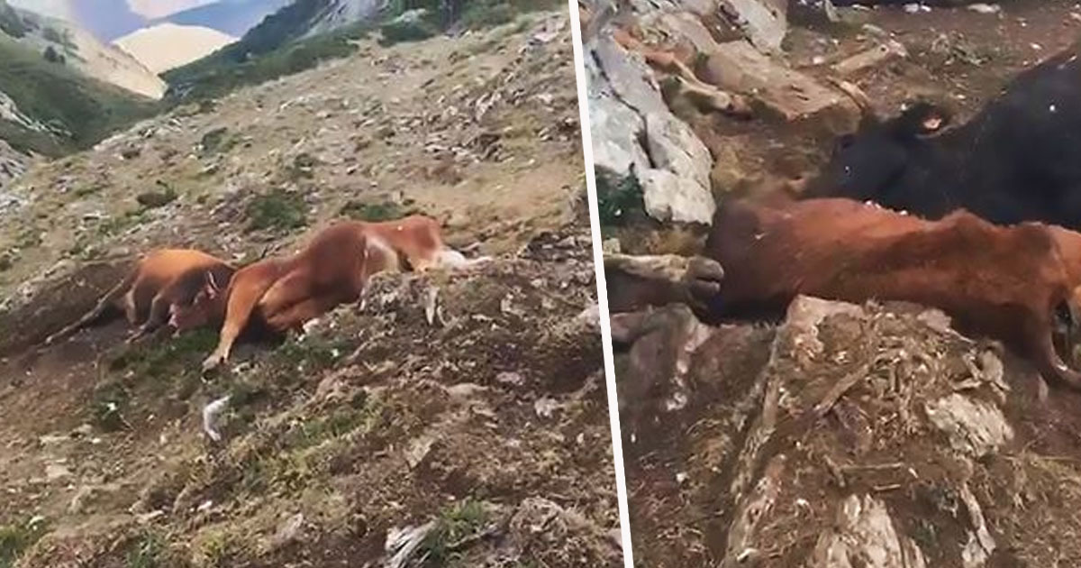 20 cows killed by lightning