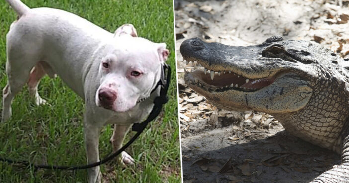 Dog Alligator Pitbull Tank