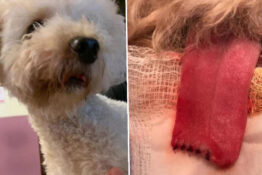 Part Of Dog's Tongue Cut Off During Routine Shampoo And Hair Clipping