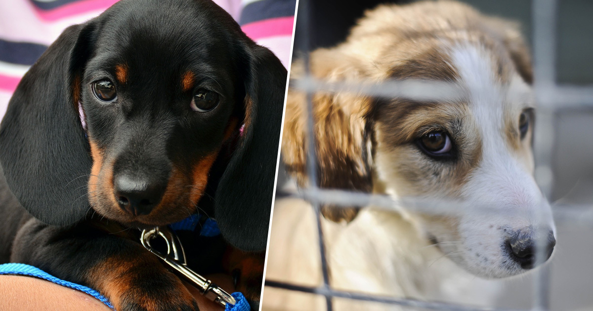 Reports of puppy farming increase five fold in last decade