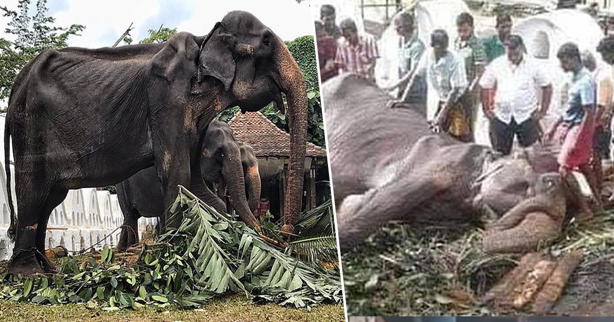 New Photo Of Starving 70-Year-Old Elephant Shows Animal Close To Death