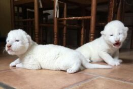 Rare white lion cubs born