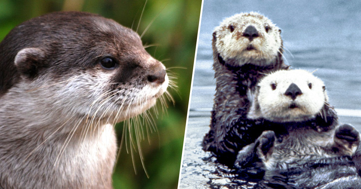 Trade Of Endangered Otters Banned After Instagram Trend Imperiled Them
