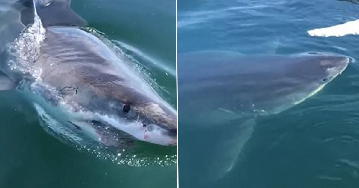 Terrifying Moment Great White Shark Tries To Bite Boat In Cape Cod
