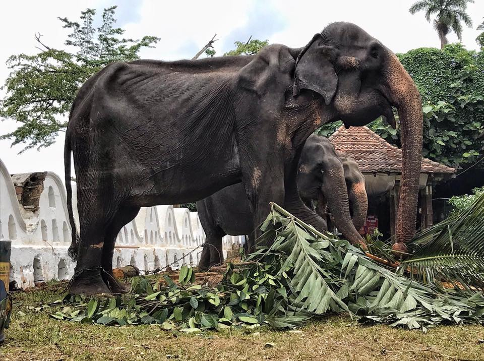 Starving 70-Year-Old Elephant's Body Hidden By Festival Costume