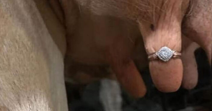 Ring Viral Cow Proposal Singapore Facebook