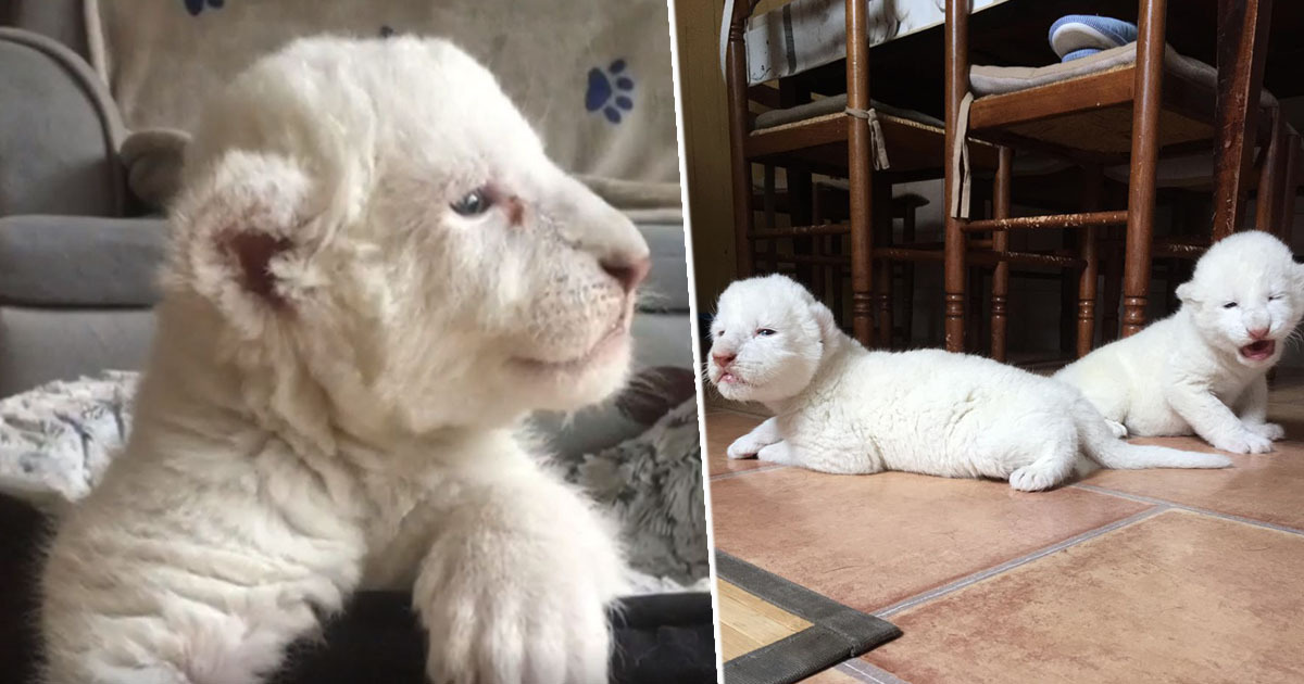 White lion cubs born after parents rescued from circus