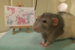 Darius the rat paints