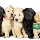 Netflix Documentary Pick Of The Litter About The Training Of Guide Dogs Is Incredible