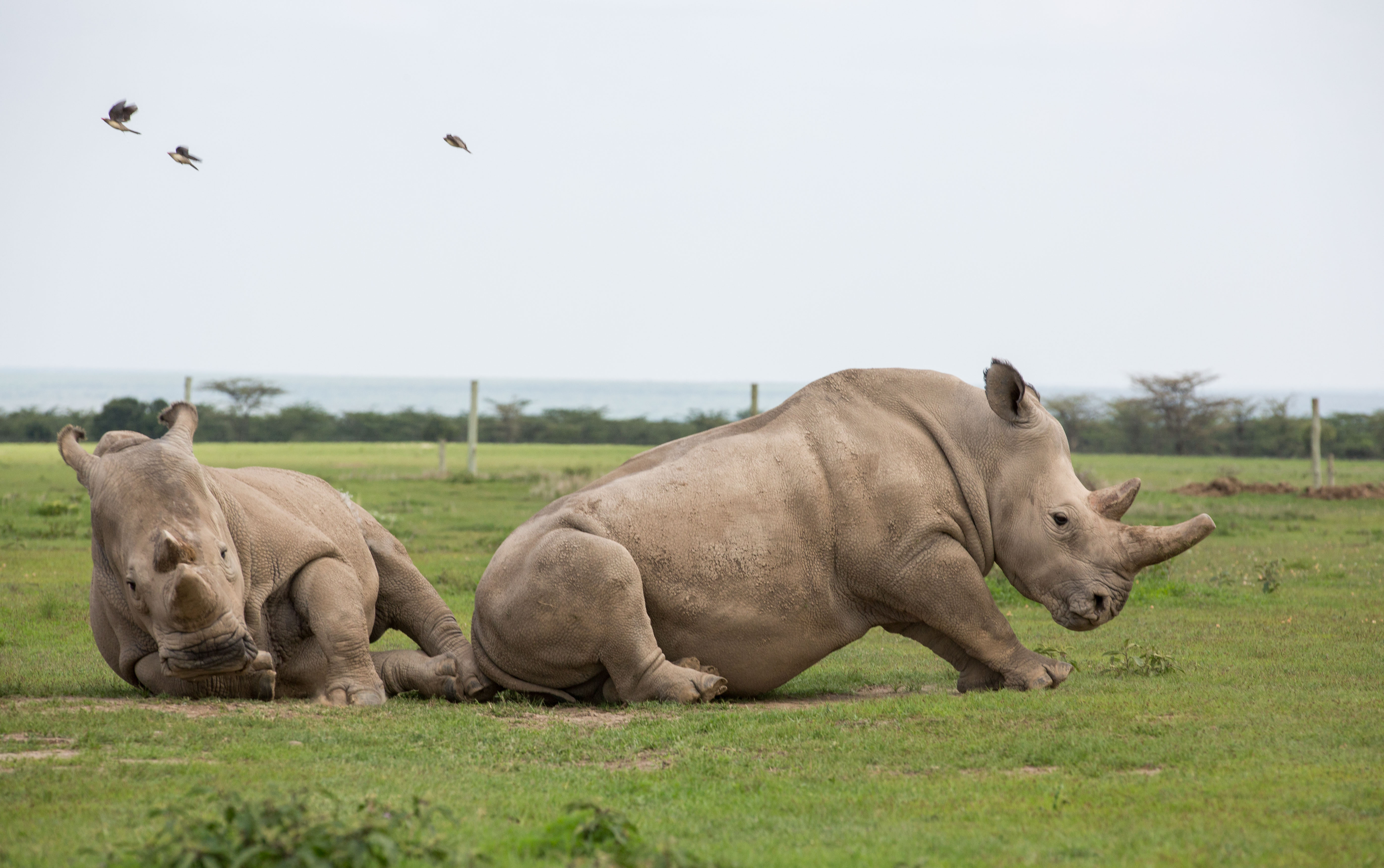 Two last remaining northern white rhinos